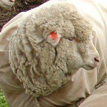 sheepa