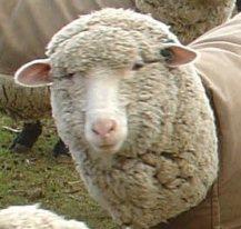sheepb